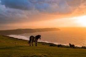 Exmoor Pony, Woolacombe Down