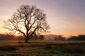 Old Oak Sunrise