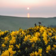 Gorse Sunset Potters Hill