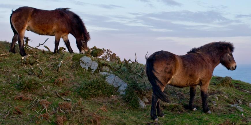 Exmoor-ponies-love-fires