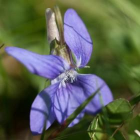 Violet-wild-flower
