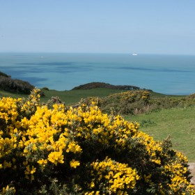 Gorse-from Black Cloud Hill overlooking Mortepoint